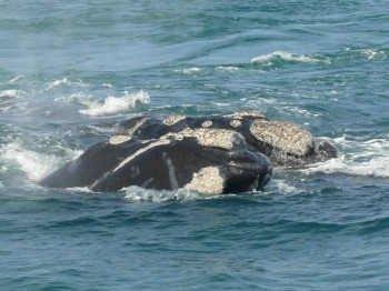 whale-watching-hermanus2